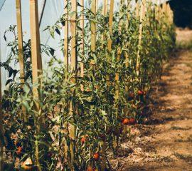 SVSG – Ferme du tri al me – Tomates